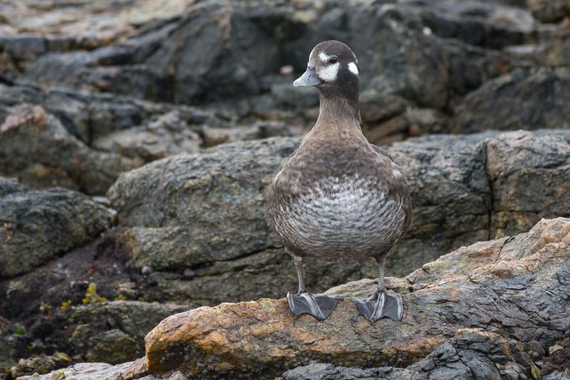 Harlequin duck - female