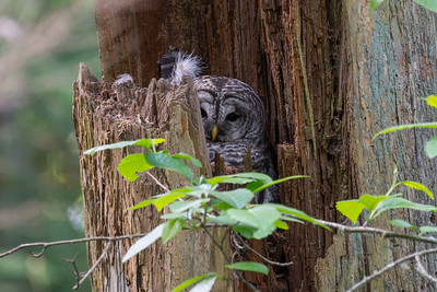 Barred Owl sitting on her nest