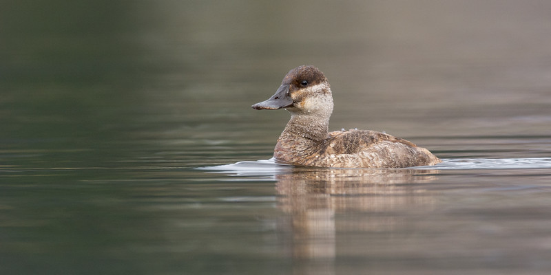 Ruddy Duck - Female - a rare visitor to the island, on the few occasions I have encountered them, they have been on the far side of the lake.  Today I was lucky to get shots of two females and a male in non breeding plumage.