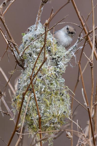 Bushtit -Male<br />   Nest building