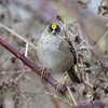 Golden-crowned Sparrow - Adult breeding