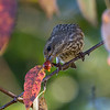 Purple Finch - female