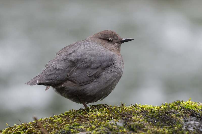 American Dipper   When you can't escape the rains go looking for birds that live, and hunt around water.    After a very quiet and wet hike I headed down to the river to look for an American Dipper.  Dippers are very interesting birds that dive in fast west coast streams looking for insects, fish and salmon eggs.  Species 87