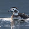 Long-tailed Duck -  Only managing a distnat shot of them this spring a stop at Deep bay on the way home from Mt Washington provided me with my closest shots of these stunning ducks
