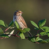 Savannah Sparrow- a very skittish species they are one of our more frustrating sparrows to get decent shots of.   Normally foraging on the ground staying just out of reach I was lucky to have this one take a moment to rest on this blackberry branch.