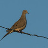 Mourning Dove - species 170.  With all the eurasian collared doves showing up in the last few years I've worn through a set of brake pads stopping to check every dove perched on a wire.  My usual spot near Martindale flats had yet to turn one up.  A tip from a fellow birder finally got me the first Mourning Dove of the year, 1km from my spot.