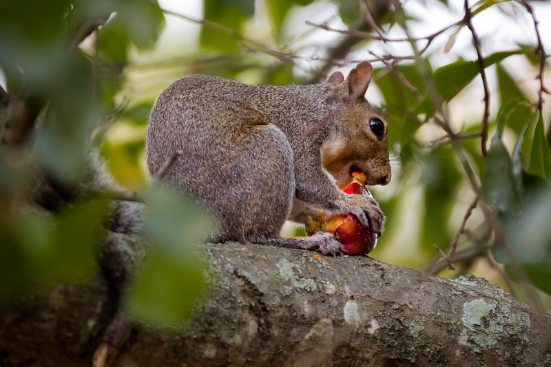 A squirrel on campus finishes off a leftover candy apple from Halloween.