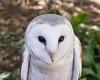 97 Snowy owl