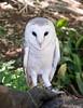 96 Snowy owl