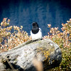 Magpie, Alaska Wildlife Center