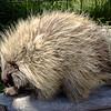 Porcupine, Alaska Wildlife Center