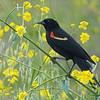Redwing Blackbird, Medford, OR