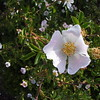 Wild Rose in Lone Pine Park, Medford, OR