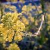Mustard blossoms, Medford, OR