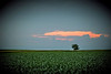 Illinois Corn Field