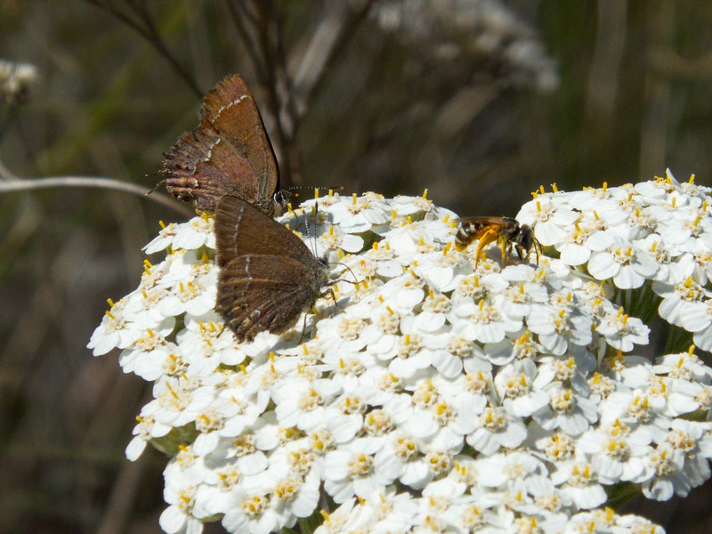 Butterfly on Yarrow, Painted Hills Unit, John Day Fossil Beds NM, Oregon