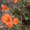 Globe Mallow, Painted Hills Unit, John Day Fossil Beds NM, Oregon