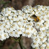 Bee on Yarrow, Painted Hills Unit, John Day Fossil Beds NM, Oregon
