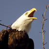 A Talking Bald Eagle