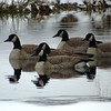 Wintering Canada Geese