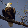 First Warm Day for a Bald Eagle