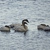 Swans Restin