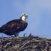 Osprey Talkin
