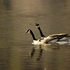 Canada Geese a Talkin