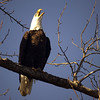 Still a Talking Bald Eagle