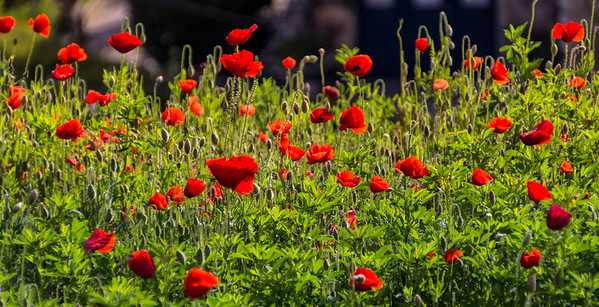 Field of poppies, Alcobaca