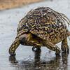 Leopard Tortoise in the rain