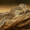 MEXICAN GROUND SQUIRREL