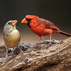 MALE AND FEMALE NORTHERN CARDINALS