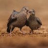 COMMON GROUND DOVES