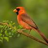 MALE NORTHERN CARDINAL