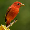 SUMMER TANAGER<br /> MALE