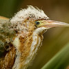 LEAST BITTERN CHICK