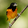 BALTIMORE ORIOLE<br /> MALE