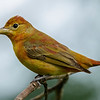SUMMER TANAGER<br /> JUVENILE MALE