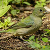 PAINTED BUNTING<br /> FEMALE