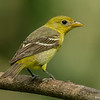 SUMMER TANAGER<br /> FEMALE