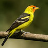WESTERN TANAGER<br /> MALE