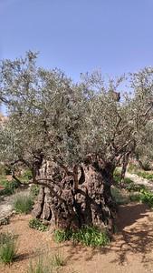 13-olive-tree