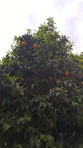 17-tree