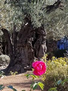 12-garden-of-gethsemane