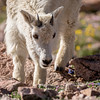Young Mountain Goat, Mount Evans