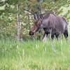 Bull Moose, Rocky Mountain National Park