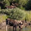 Bull Moose, North Park, CO