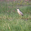 Black-crowned Night Heron, Arapaho NWR
