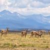 Pronghorn Bucks, Arapaho NWR